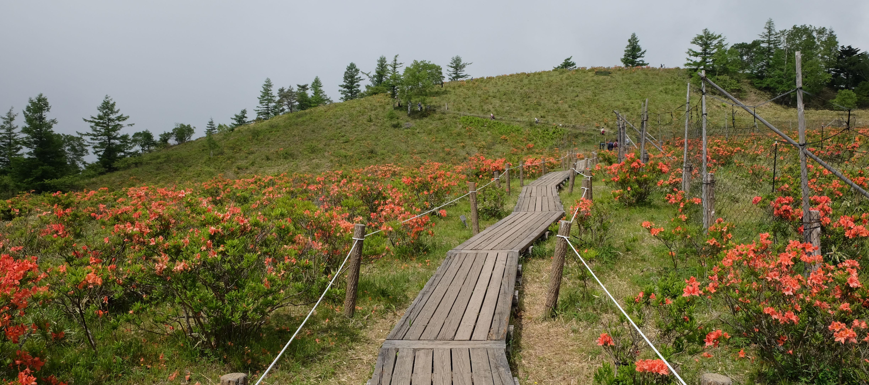 「甘利山」②木道とレンゲつつじに笹の高原
