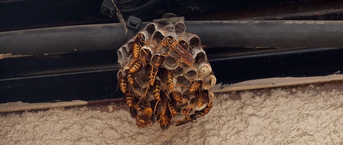 「すずめ蜂の巣の駆除」殺虫剤スプレーと長い棒があればOK