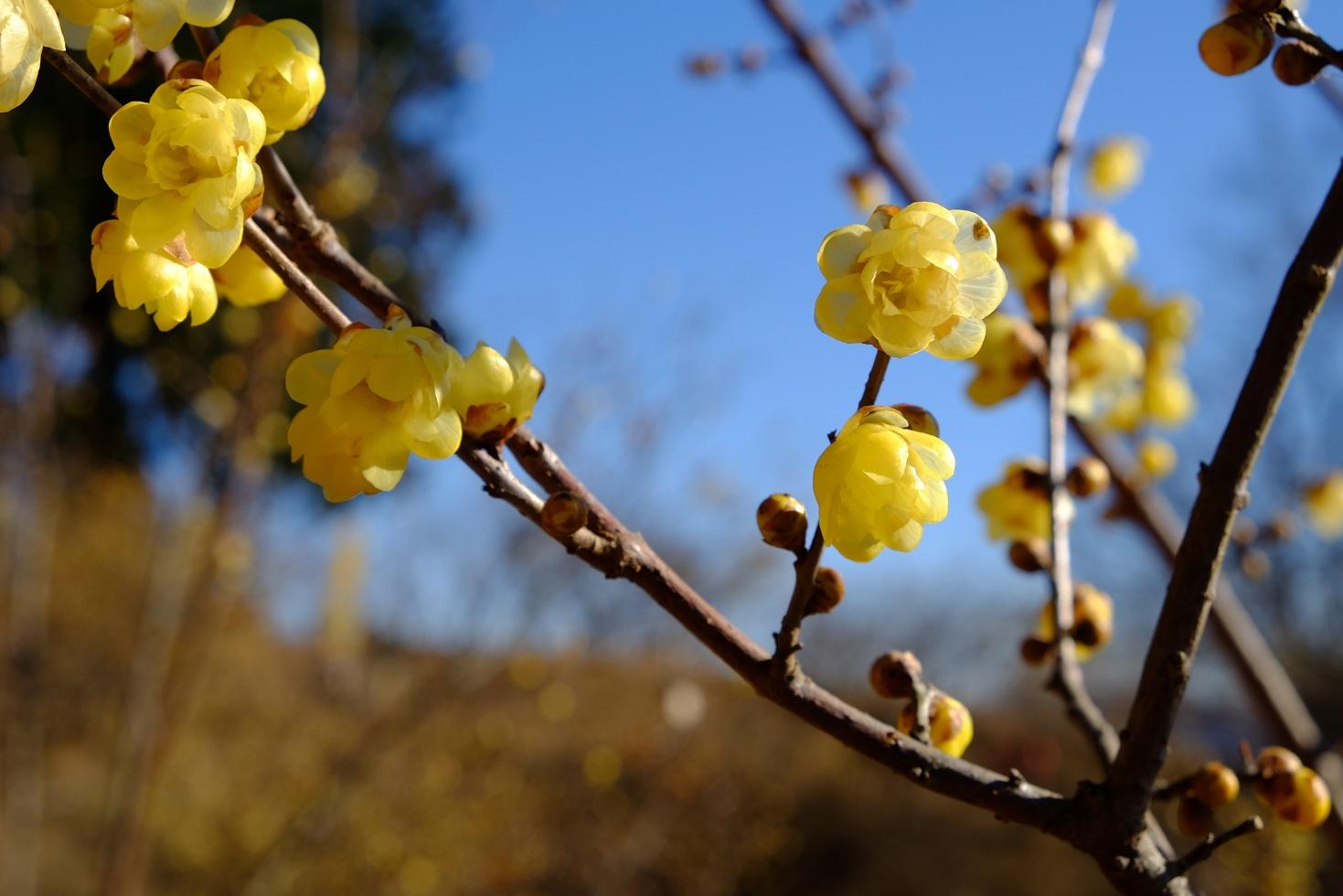 「宝登山」②満開のロウバイ~甘い香りが漂う山頂